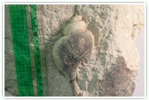 エゾバイ類の化石 (横須賀市浦郷産)