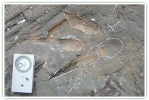 肉食恐竜の足跡化石 (石川県白山市産)